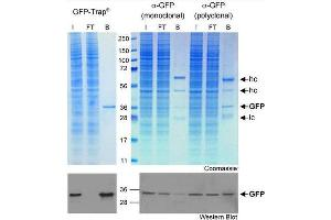 Immunoprecipitation (IP) image for GFP-Trap® MA Kit (ABIN1889492)