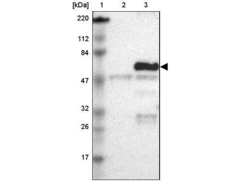 Western Blotting (WB) image for anti-Occludin (OCLN) antibody (ABIN4341293)