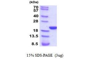 Image no. 1 for Peptidylprolyl Isomerase F (PPIF) (AA 30-206) protein (His tag) (ABIN5854291)