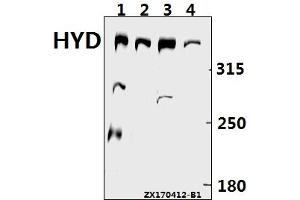 Image no. 1 for anti-Ubiquitin Protein Ligase E3 Component N-Recognin 5 (UBR5) (AA 1-50) antibody (ABIN6712012)