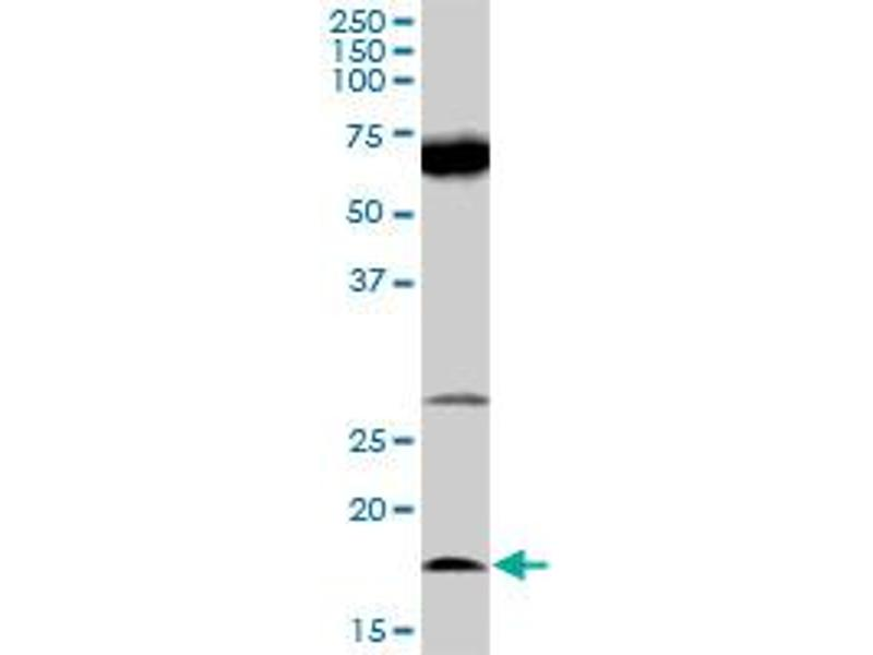 Western Blotting (WB) image for anti-IL21 antibody (Interleukin 21) (AA 1-162) (ABIN528381)