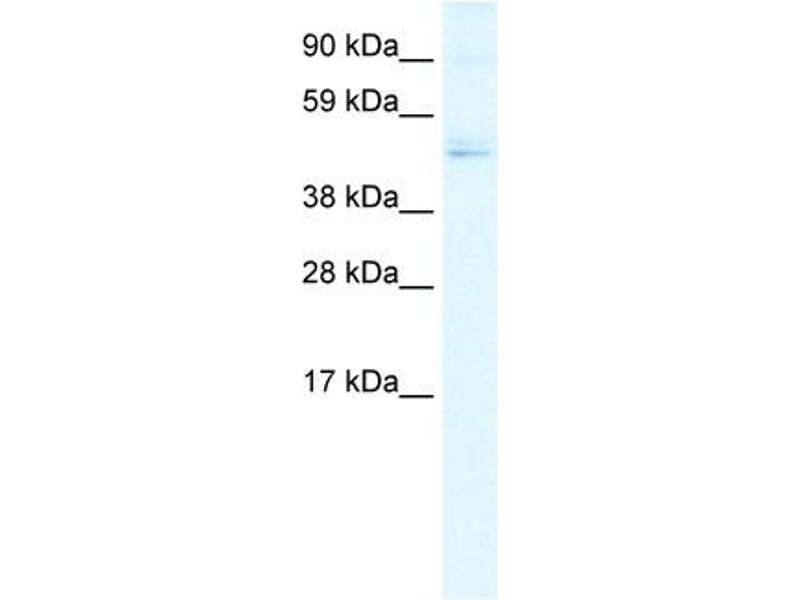 Western Blotting (WB) image for anti-Transcription Factor Dp-1 (TFDP1) (N-Term) antibody (ABIN2792602)