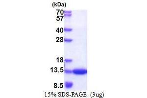 Image no. 1 for CDC28 Protein Kinase Regulatory Subunit 1B (CKS1B) (AA 1-79) protein (His tag) (ABIN5853482)