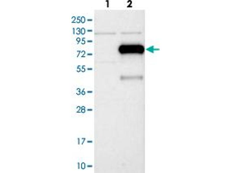 Image no. 2 for anti-Influenza Virus NS1A Binding Protein (IVNS1ABP) antibody (ABIN5581341)