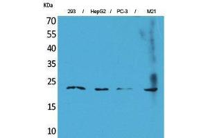 Western Blotting (WB) image for anti-FGF6 antibody (Fibroblast Growth Factor 6) (C-Term) (ABIN3187711)