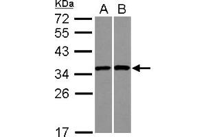 Image no. 3 for anti-Ribosomal Protein S3A (RPS3A) (AA 1-264) antibody (ABIN1501993)
