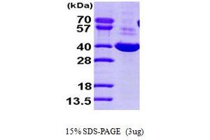 Image no. 1 for Dihydrodiol Dehydrogenase (DDH) (AA 1-323) protein (His tag) (ABIN666955)