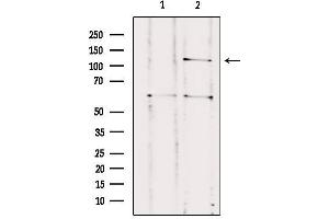 Image no. 3 for anti-Contactin Associated Protein-Like 3 (CNTNAP3) antibody (ABIN6260922)