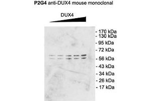 Image no. 2 for anti-Double Homeobox 4 (DUX4) (C-Term) antibody (PerCP) (ABIN2482300)