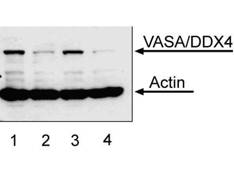 Western Blotting (WB) image for anti-DEAD Box Protein 4 (DDX4) antibody (ABIN967664)