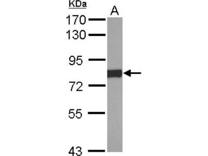 Western Blotting (WB) image for anti-P450 (Cytochrome) Oxidoreductase (POR) (C-Term) antibody (ABIN4346846)