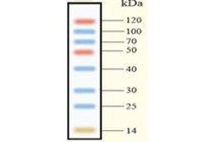SDS-PAGE (SDS) image for Smart Multi Color Pre-Stained Protein Standard (ABIN1536541)
