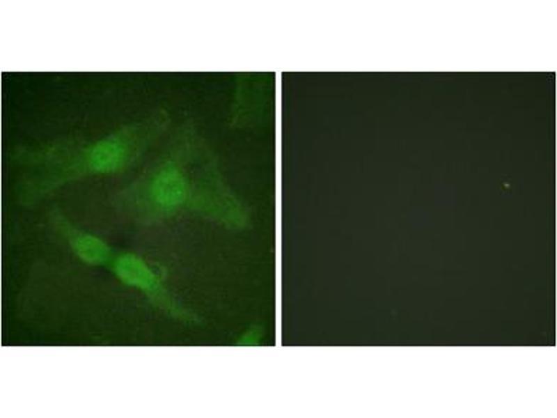 Immunofluorescence (IF) image for anti-Protein Kinase C, zeta (PRKCZ) (pThr410) antibody (ABIN1847212)