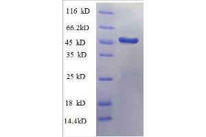 Image no. 1 for Polymerase (RNA) II (DNA Directed) Polypeptide F (POLR2F) (AA 2-216), (partial) protein (GST tag) (ABIN1046924)