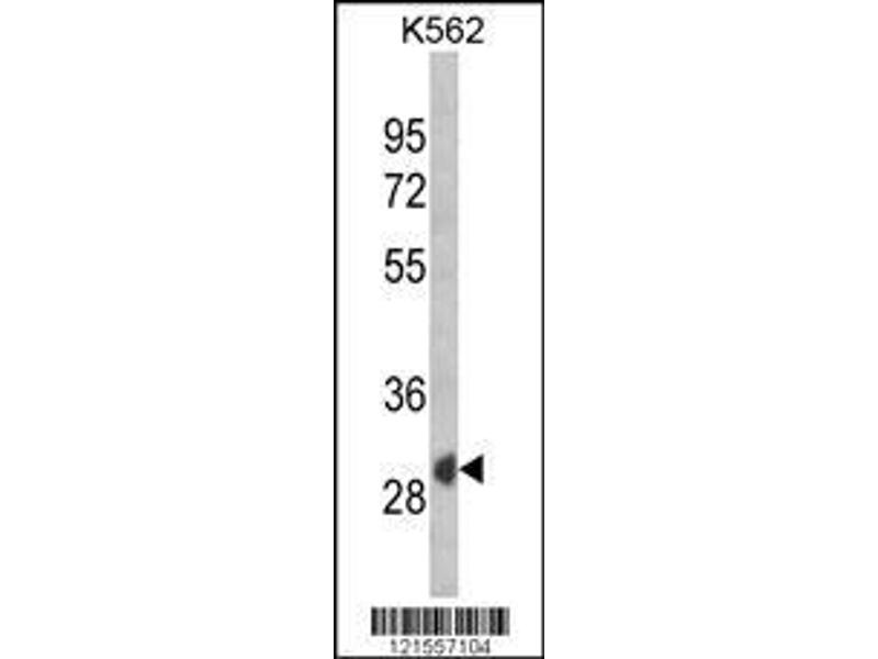 Western Blotting (WB) image for anti-Secreted Frizzled-Related Protein 1 (SFRP1) (AA 26-55), (N-Term) antibody (ABIN652980)
