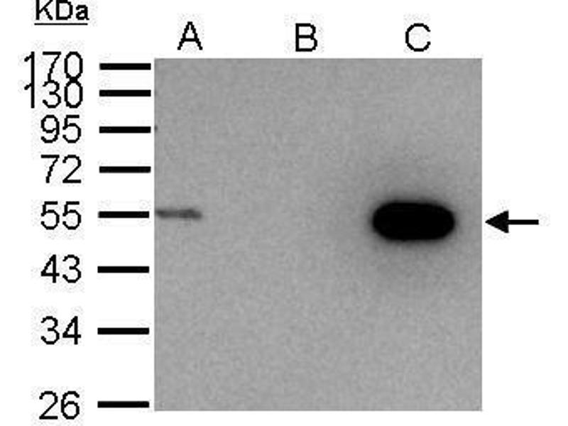 Immunoprecipitation (IP) image for anti-Cyclin A2 (CCNA2) (Center) antibody (ABIN2855543)