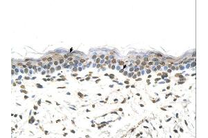 Immunohistochemistry (IHC) image for anti-FTCD antibody (Formiminotransferase Cyclodeaminase) (N-Term) (ABIN310177)