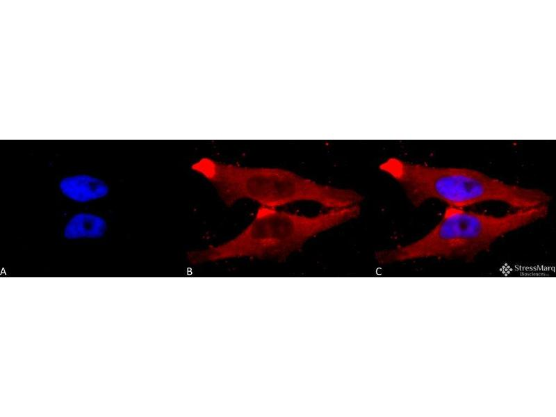 Immunofluorescence (fixed cells) (IF/ICC) image for anti-BCL2 Binding Component 3 (BBC3) (C-Term) antibody (PE) (ABIN2485959)