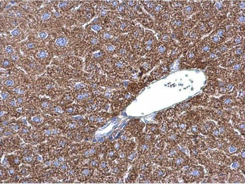Immunohistochemistry (IHC) image for anti-JNK antibody (Mitogen-Activated Protein Kinase 8) (Center) (ABIN2854959)