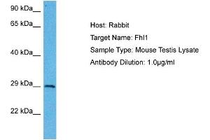 Image no. 1 for anti-Four and A Half LIM Domains 1 (FHL1) (N-Term) antibody (ABIN2777486)
