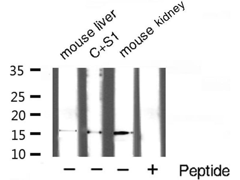 Western Blotting (WB) image for anti-Cytochrome C, Somatic (CYCS) antibody (ABIN6269420)