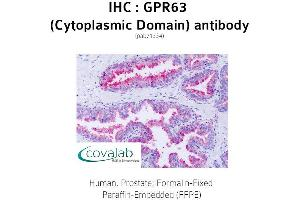 Image no. 1 for anti-G Protein-Coupled Receptor 63 (GPR63) (1st Cytoplasmic Domain) antibody (ABIN1735140)