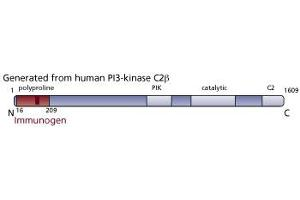 anti-PI3-Kinase C2 beta (AA 16-209) antibody (3)