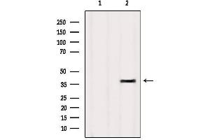 Image no. 2 for anti-Olfactory Receptor, Family 4, Subfamily D, Member 9 (OR4D9) antibody (ABIN6263865)