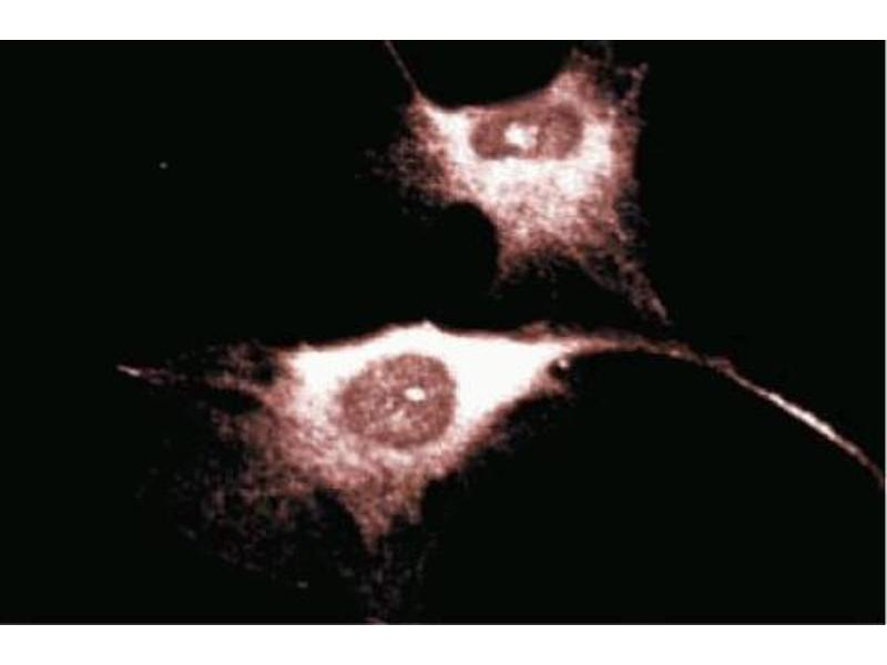 Immunofluorescence (IF) image for anti-CD38 antibody (AA 171-292) (ABIN968373)