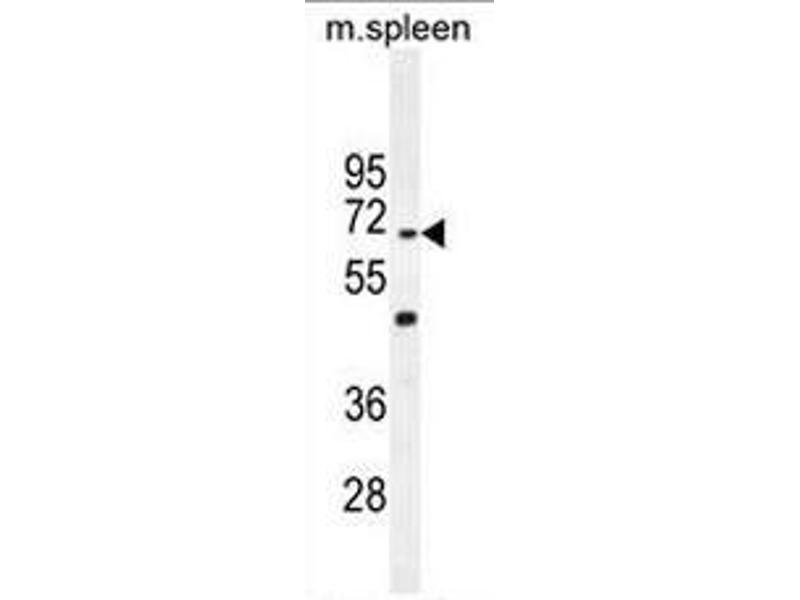 Western Blotting (WB) image for anti-Coiled-Coil Domain Containing 9 (CCDC9) (AA 22-52), (N-Term) antibody (ABIN951128)