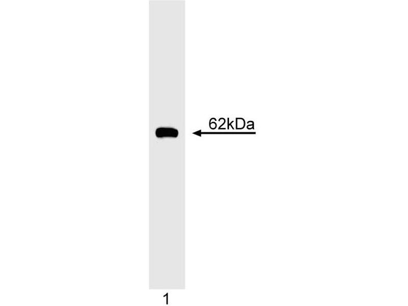 Western Blotting (WB) image for anti-Cyclin B1 antibody (CCNB1) (ABIN967429)