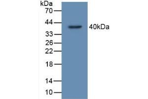 Image no. 2 for anti-TP53 Target 5 (TP53TG5) (AA 190-262) antibody (ABIN5014428)