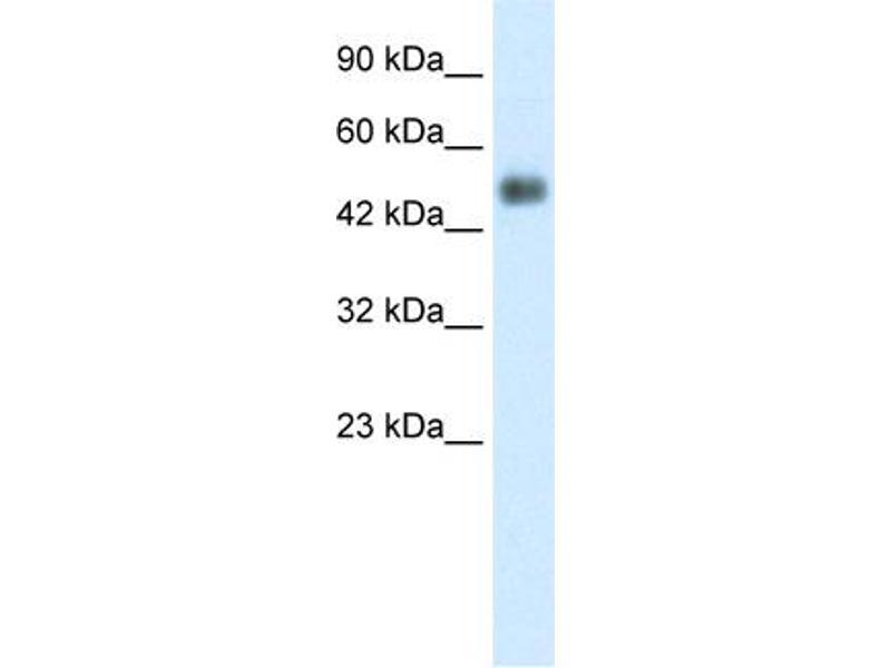 Western Blotting (WB) image for anti-Glial Cells Missing Homolog 1 (Drosophila) (GCM1) (N-Term) antibody (ABIN2792608)