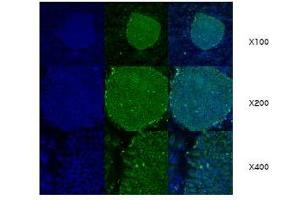 Image no. 1 for anti-Heat Shock Protein 90kDa beta (Grp94), Member 1 (HSP90B1) (AA 676-803) antibody (ABIN317570)