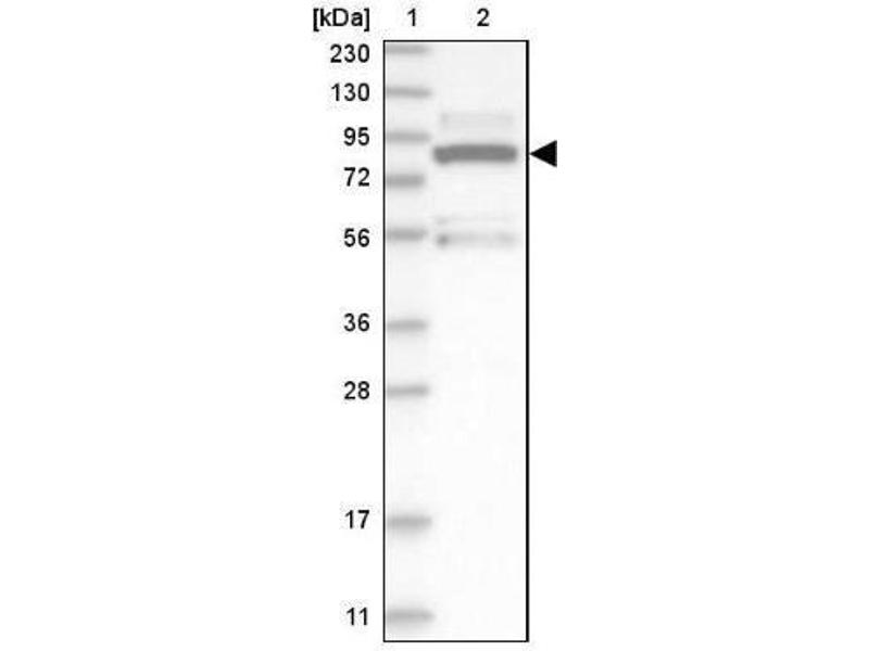 Western Blotting (WB) image for anti-MAPK6 antibody (Mitogen-Activated Protein Kinase 6) (ABIN4309450)