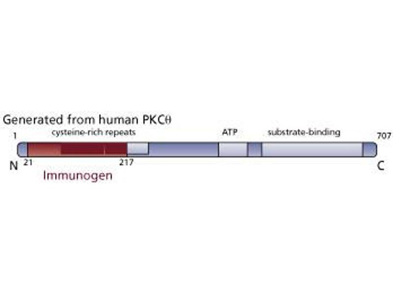 image for anti-Protein Kinase C, theta (PRKCQ) (AA 21-217) antibody (ABIN967739)