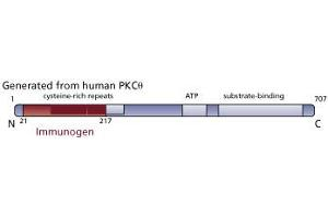 Image no. 3 for anti-PKC theta antibody (Protein Kinase C, theta) (AA 21-217) (ABIN967739)