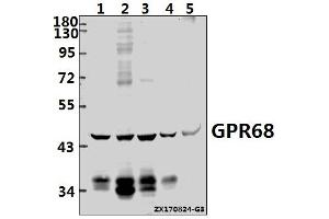 Image no. 1 for anti-G Protein-Coupled Receptor 68 (GPR68) (AA 183-232) antibody (ABIN6712638)