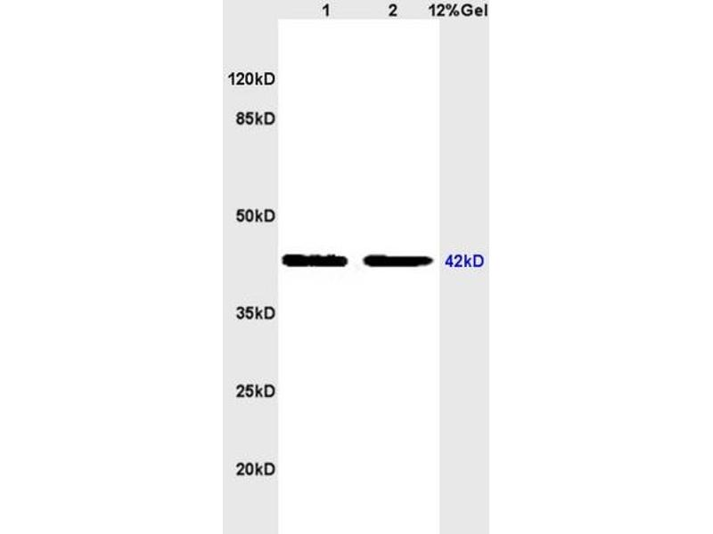 SDS-PAGE (SDS) image for anti-Coagulation Factor II (thrombin) Receptor (F2R) (AA 290-315) antibody (ABIN728743)