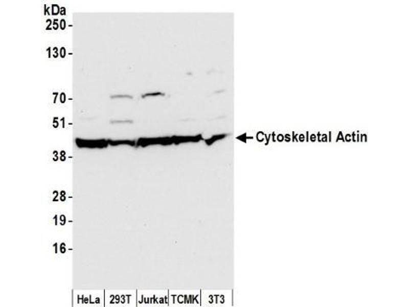 Western Blotting (WB) image for anti-Actin, beta (ACTB) (N-Term) antibody (ABIN153418)