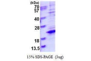 Image no. 1 for Transcription Elongation Factor A (SII)-Like 8 (TCEAL8) protein (His tag) (ABIN1098344)