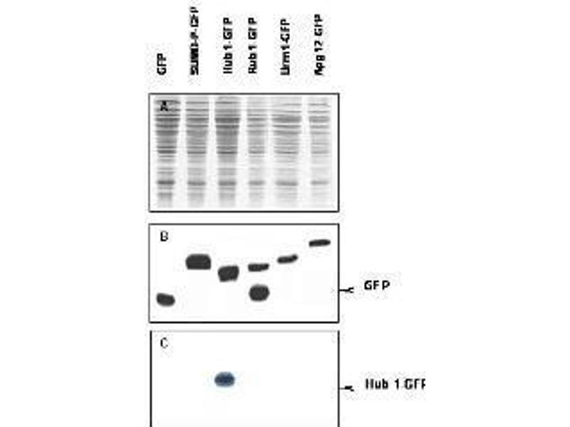 Image no. 1 for anti-Hub1 antibody (ABIN100576)