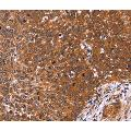 anti-CDC37L1 antibody (Cell Division Cycle 37 Homolog (S. Cerevisiae)-Like 1)