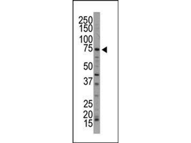 Western Blotting (WB) image for anti-NUAK1 antibody (NUAK Family, SNF1-Like Kinase, 1) (AA 604-634) (ABIN392640)