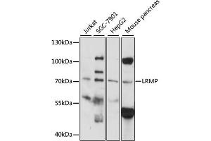 Image no. 1 for anti-Lymphoid-Restricted Membrane Protein (LRMP) antibody (ABIN6292176)