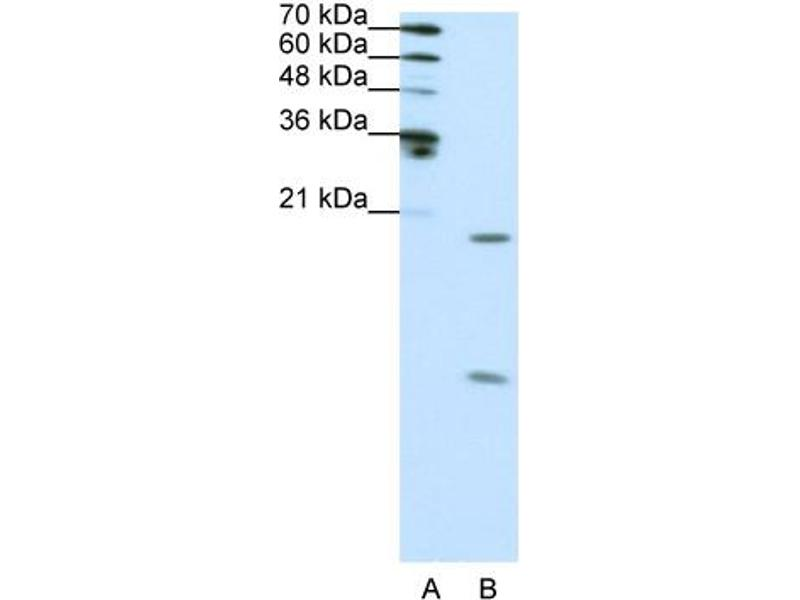 Western Blotting (WB) image for anti-Small Nuclear Ribonucleoprotein Polypeptide F (SNRPF) (N-Term) antibody (ABIN183957)