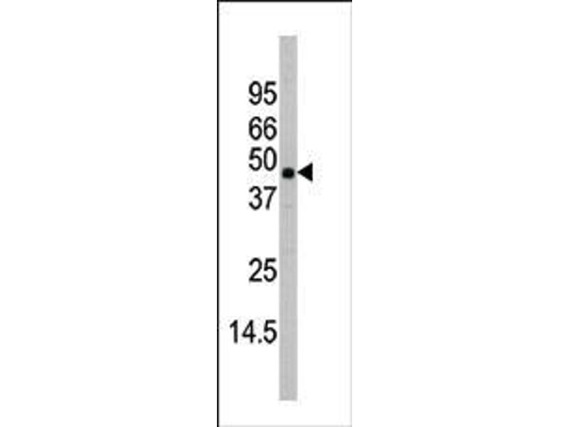 Western Blotting (WB) image for anti-MAPK11 antibody (Mitogen-Activated Protein Kinase 11) (AA 334-359) (ABIN391730)