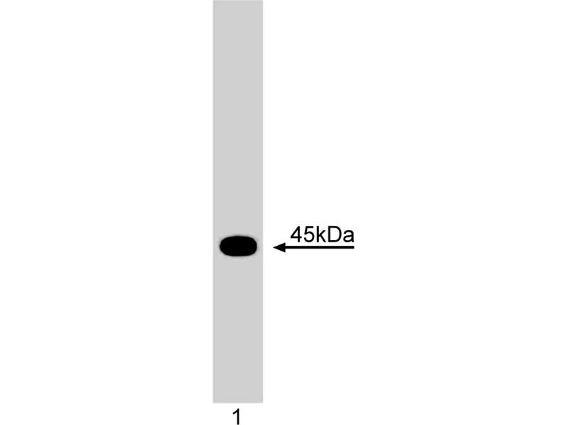 Western Blotting (WB) image for anti-Inhibitor of DNA Binding 1, Dominant Negative Helix-Loop-Helix Protein (ID1) antibody (ABIN967545)