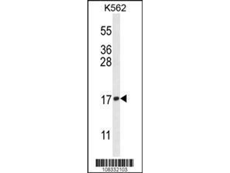 Western Blotting (WB) image for anti-Histone H3 (Lys9) antibody (ABIN653888)