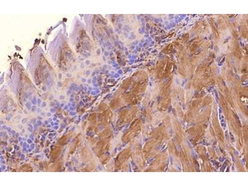 Immunohistochemistry (Paraffin-embedded Sections) (IHC (p)) image for anti-Actin, beta (ACTB) (N-Term) antibody (ABIN153388)
